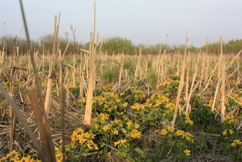 Предпосылка весны с желтыми цветковыми растениями цвета золота в предыдущей весне E Великолепие болота стоковые изображения rf