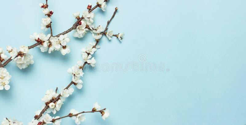 Предпосылка весны с красивыми ветвями белый цвести Предпосылка природы пастельная голубая, зацветает чувствительные цветки r стоковое изображение