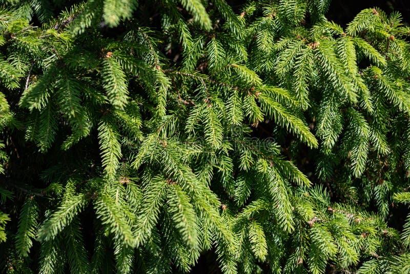 Предпосылка ветвей рождественской елки стоковое фото rf