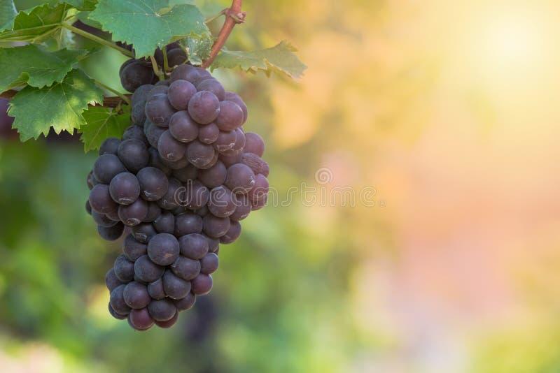 Предпосылка виноградин красного вина, виноградники на заходе солнца, сбор виноградины, стоковые фотографии rf