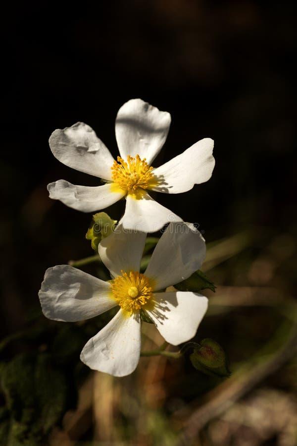 Предпосылка высококачественные 50,6 Megapixels макроса цветков salvifolius Cistus дикая ароматичная стоковые изображения rf