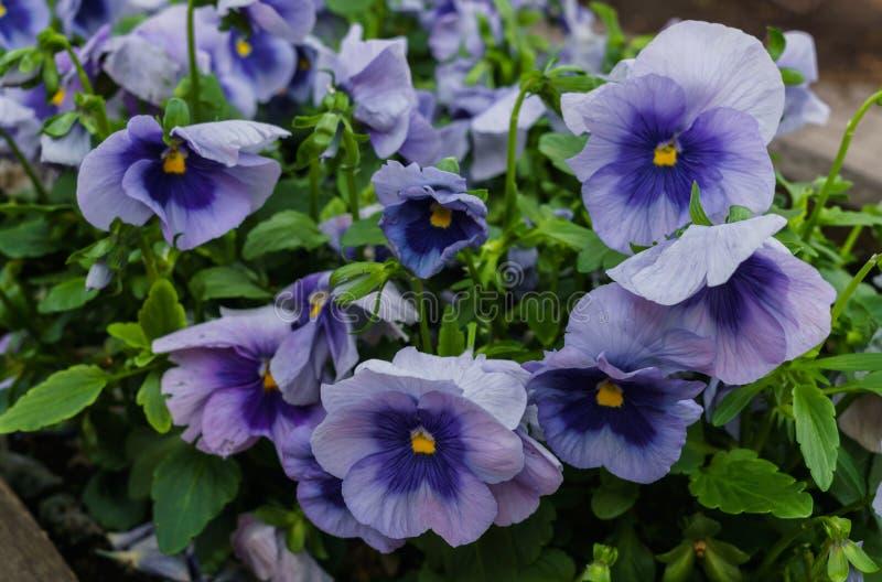 Предпосылка голубых pansies Красивый дизайн цветников летом стоковые изображения