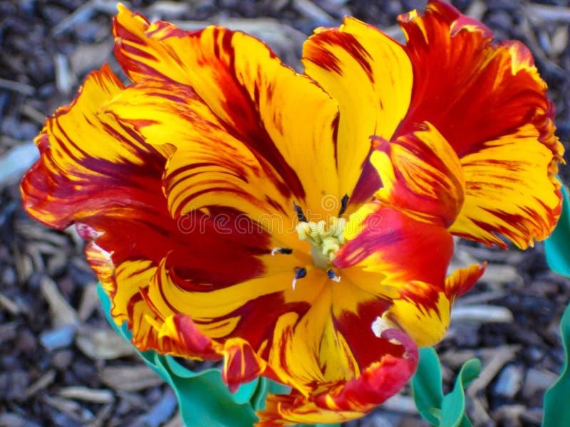 Предпосылка желтого и красного тюльпана попугая холодная стоковые изображения rf