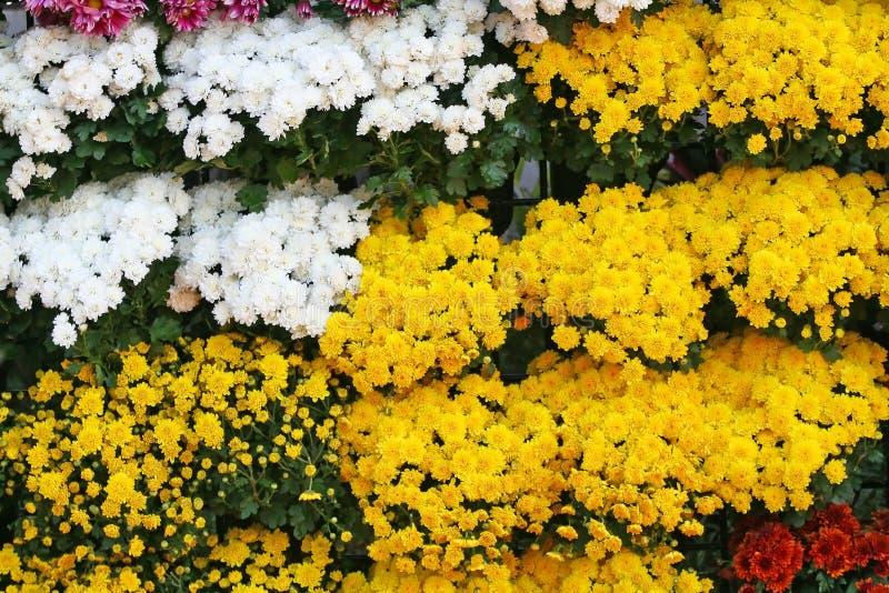 Предпосылка желтых и белых цветков зацветая, хризантемы цветет на фестивале цветка Чиангмая, проведенном в феврале каждого года стоковые фотографии rf