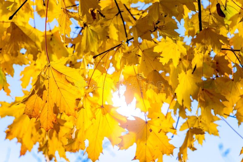 Предпосылка желтых кленовых листов в солнечном weather_ стоковые фото