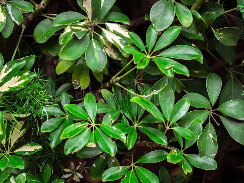 Предпосылка завода листвы зеленого цвета arboricola Schefflera взгляда сверху тропическая стоковые изображения rf