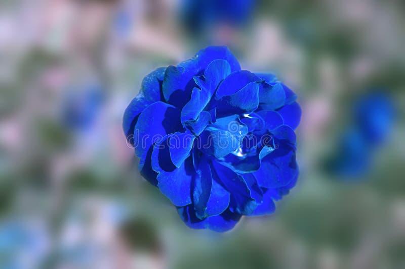 Предпосылка запачканная конспектом флористическая с голубым розовым бутоном стоковые фотографии rf
