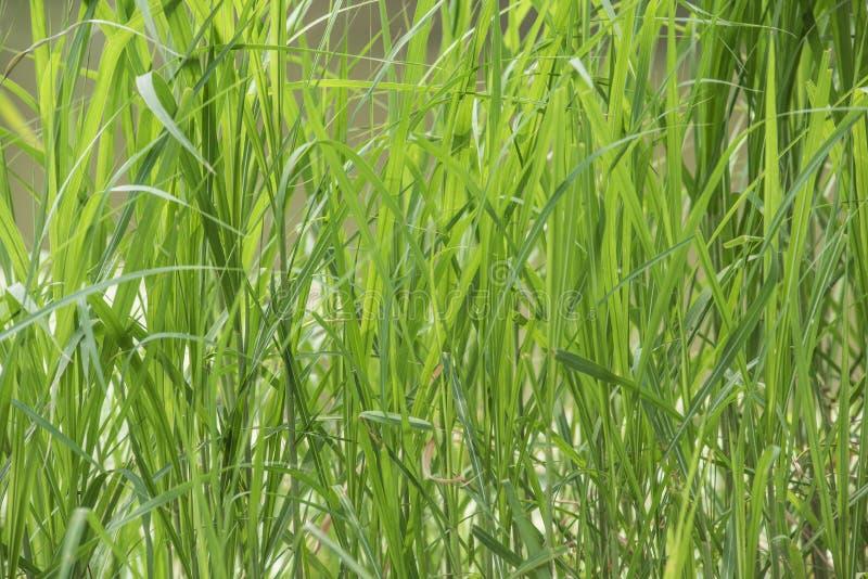 Предпосылка, зеленые растения, камышовые листья иллюстрация штока