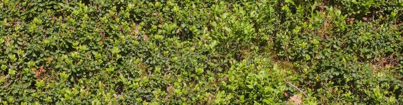 Предпосылка зеленых ягод кустов glade небольших кустов голубики во взгляде леса сверху стоковые изображения