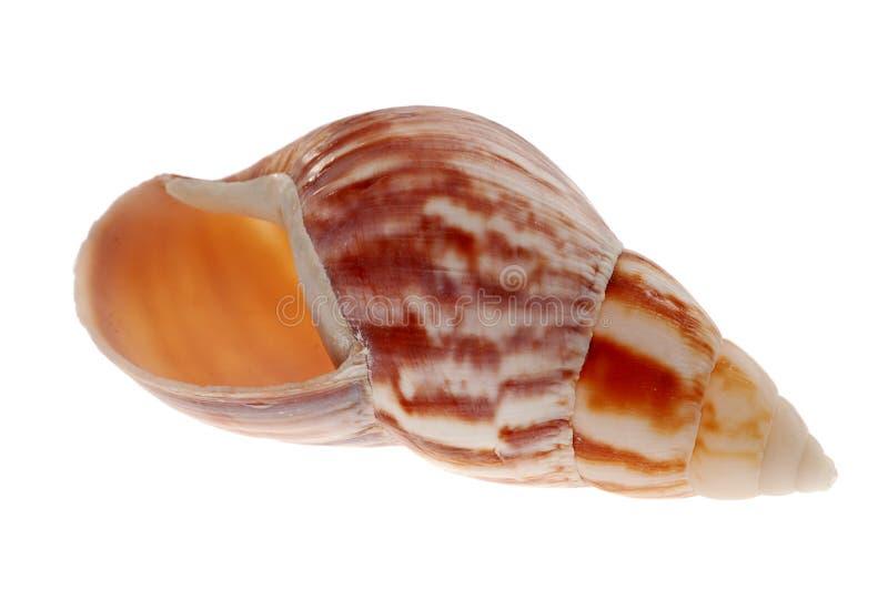 предпосылка изолировала белизну seashell стоковые фотографии rf
