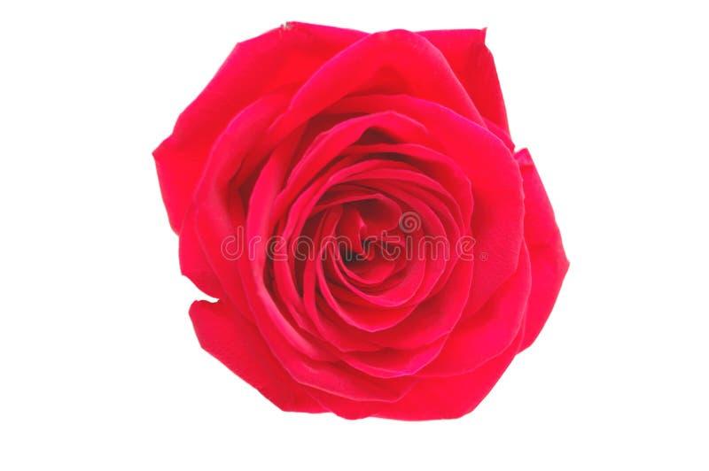 предпосылка изолировала одну белизну розы красного цвета стоковая фотография