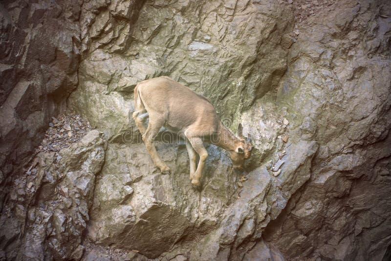 Предпосылка козы горы стоковое изображение