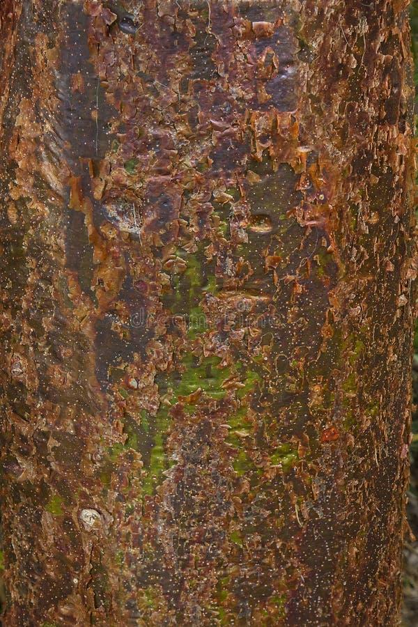 Предпосылка коры дерева заточения бамии стоковая фотография rf
