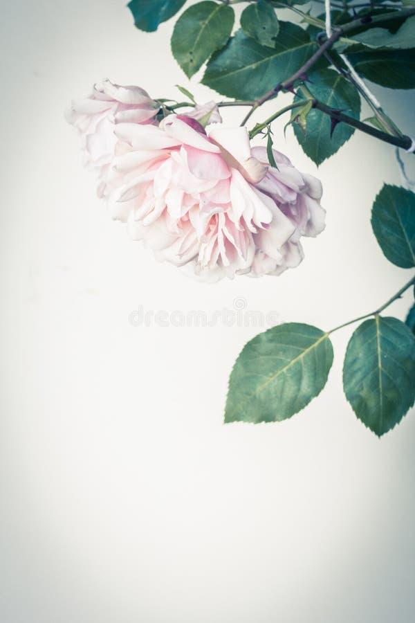 Предпосылка красивых розовых роз художническая, винтажный стиль стоковое изображение