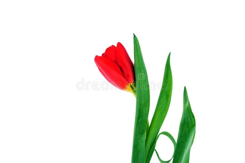 предпосылка красных тюльпанов стоковое фото rf