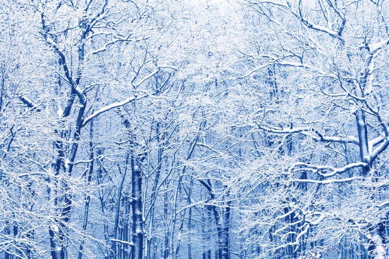 Предпосылка леса дуба зимы замороженная стоковые фото