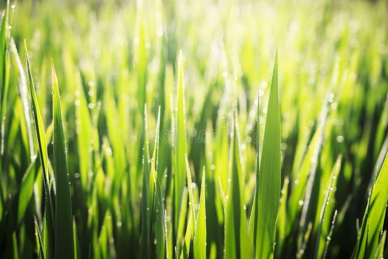 Предпосылка лета капельки росы на зеленой траве в солнечном свете рано утром Закройте вверх травы в теплом солнечном свете стоковое фото