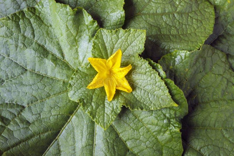 Предпосылка листьев зеленого цвета и желтого огурца цветет уклад жизни принципиальной схемы здоровый Взгляд сверху стоковое изображение