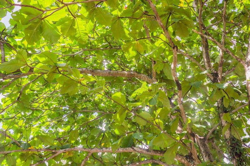 Предпосылка листьев зеленого цвета catappa Terminalia стоковое фото rf