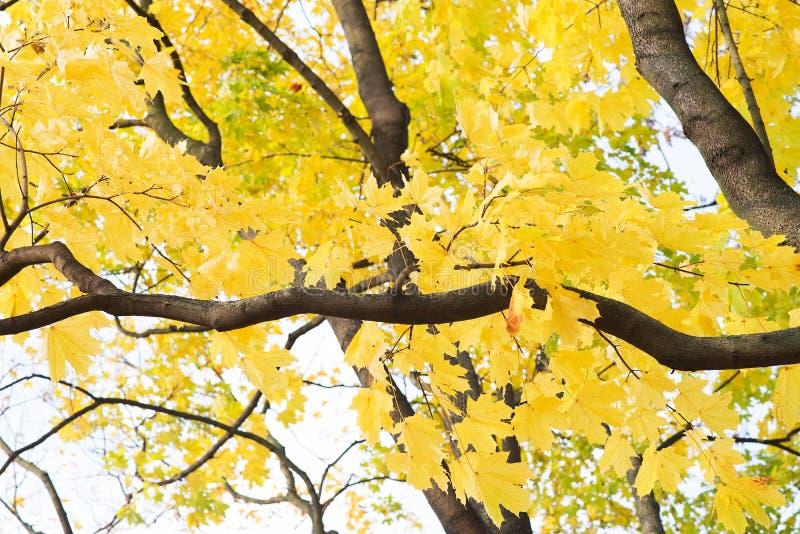 Предпосылка листьев осени Апельсин, желтый цвет и зеленый цвет клена стоковое фото