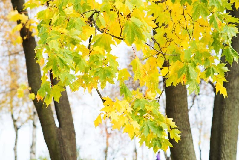 Предпосылка листьев осени Апельсин, желтый цвет и зеленый цвет клена стоковая фотография rf
