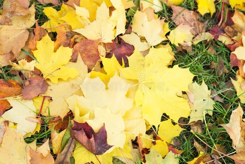 Предпосылка листьев осени Апельсин, желтый цвет и зеленый цвет клена стоковое изображение