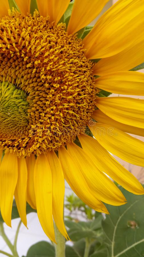 Предпосылка макроса фото цветка Солнца стоковые фото