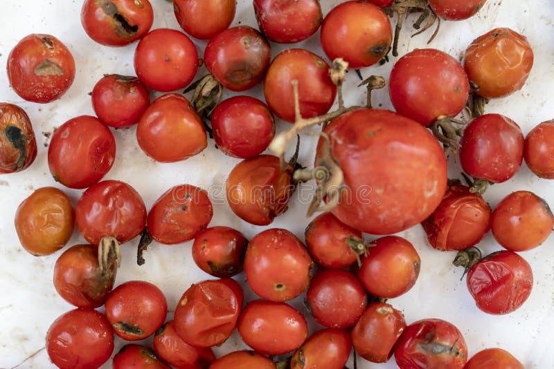 Предпосылка много тухлой томатов, покрытая с крупным планом прессформы стоковое изображение
