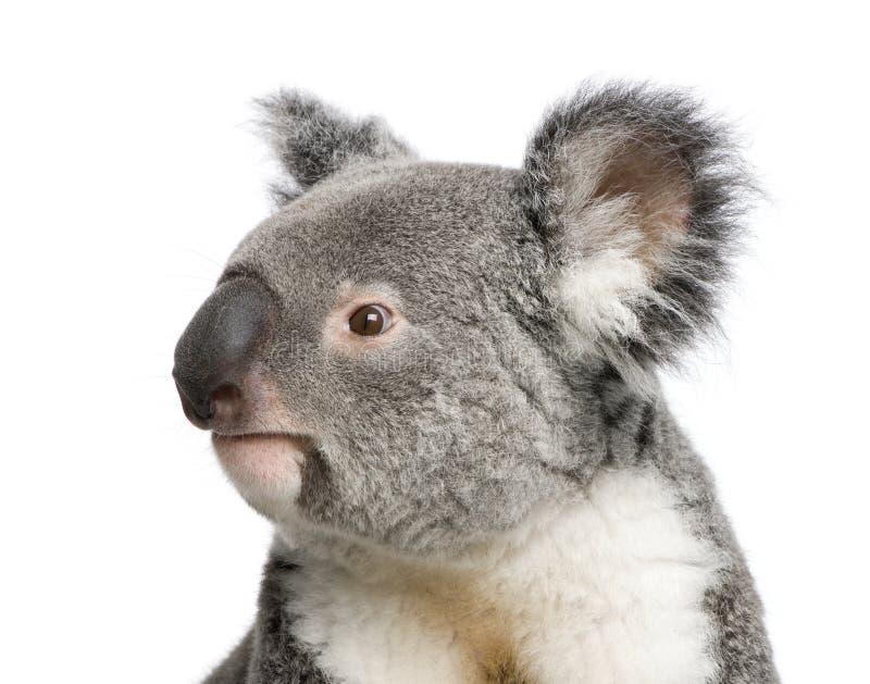 предпосылка носит переднюю белизну koala стоковое фото rf