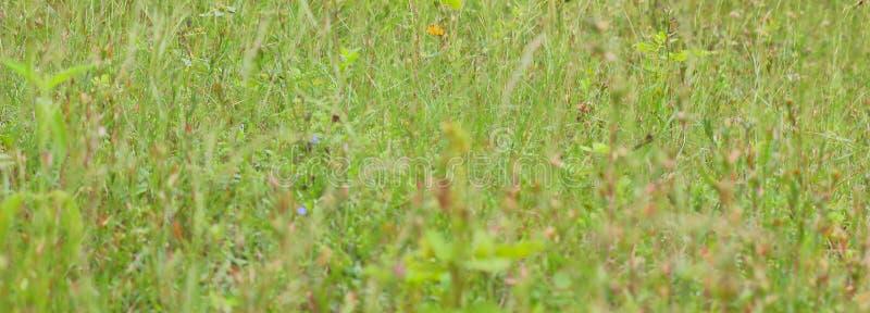 Предпосылка одичалой зеленой травы стоковое изображение rf