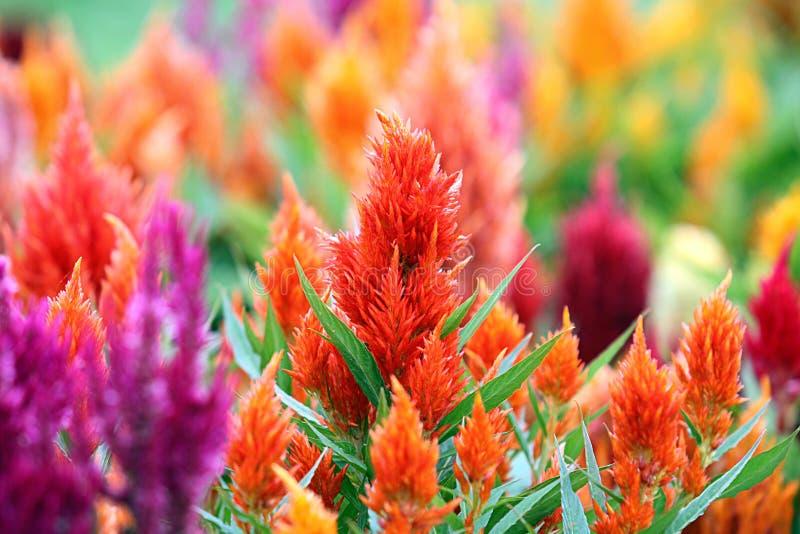 Предпосылка орнаментальных заводов Celosia ежегодная стоковое фото