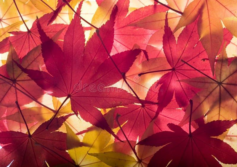предпосылка осени выходит клен стоковые фотографии rf