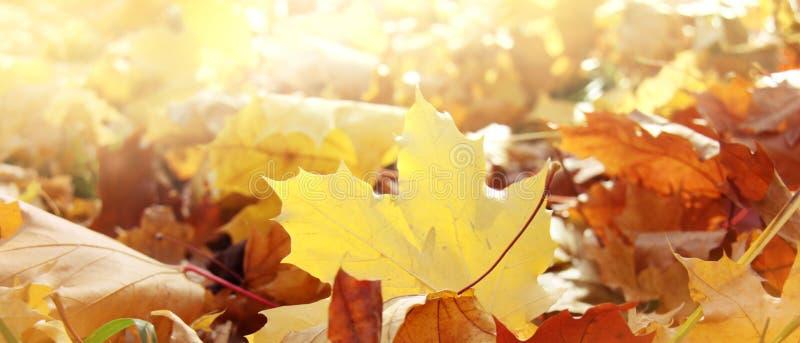 Предпосылка осени природы панорамная с листвой клена стоковое фото rf
