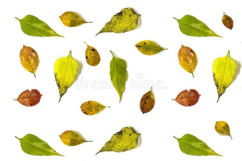 Предпосылка осени сделанная от листьев chokeberry и артишока Иерусалима, на белой предпосылке плоское Ла стоковое изображение