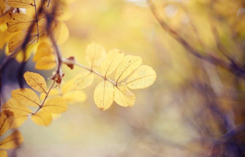 Предпосылка осени с с желтыми листьями dogrose на ветвях стоковые фотографии rf