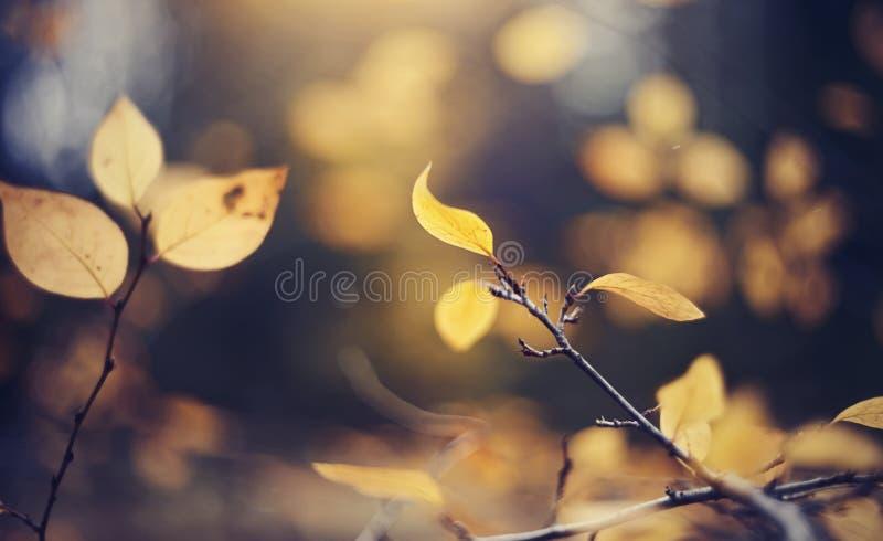 Предпосылка осени с желтым цветом выходит на ветви кизильника стоковое изображение rf