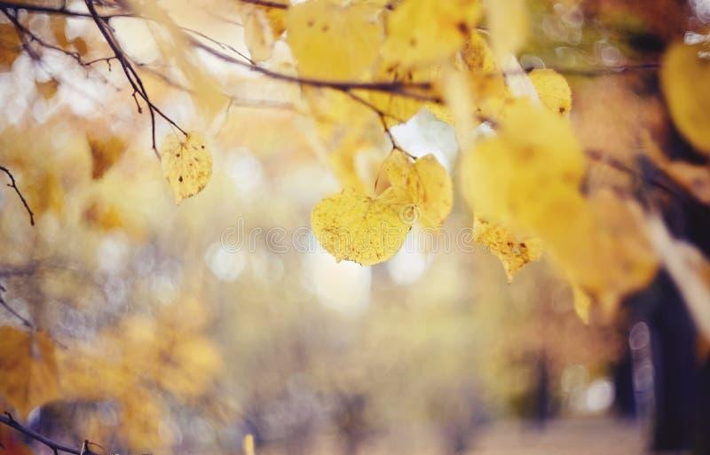 Предпосылка осени с липой разветвляет с желтыми листьями стоковая фотография