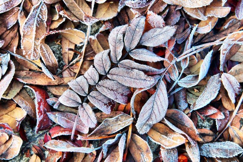 Предпосылка осени с смертельно, который замерли листьями в изморози стоковая фотография rf