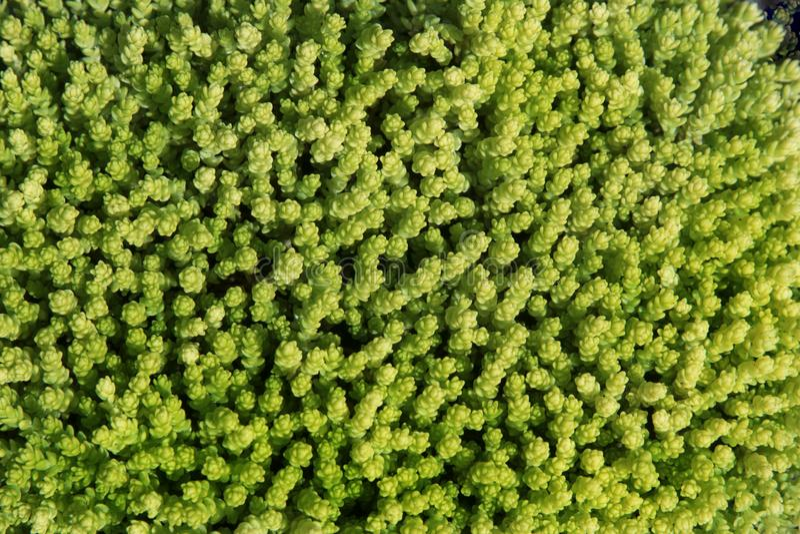 Предпосылка от зеленого растения земной крышки суккулентного sedum естественного для флористического compositi стоковое изображение rf