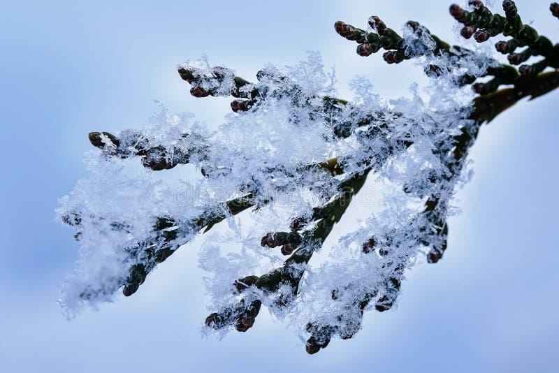 Предпосылка от кристаллов снега различных форм и текстуры лежат на зеленых ветвях и shimmer в солнце на ясный зимний день стоковое фото rf