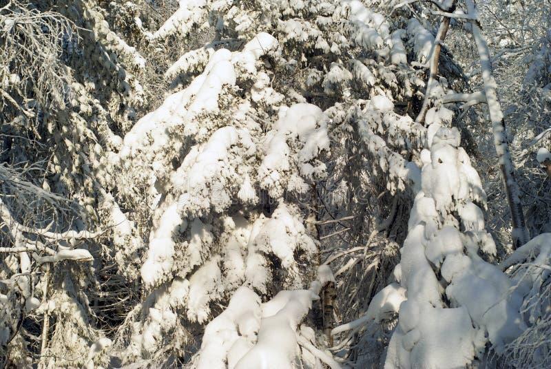 Предпосылка - покрытый снег лес стоковые фотографии rf