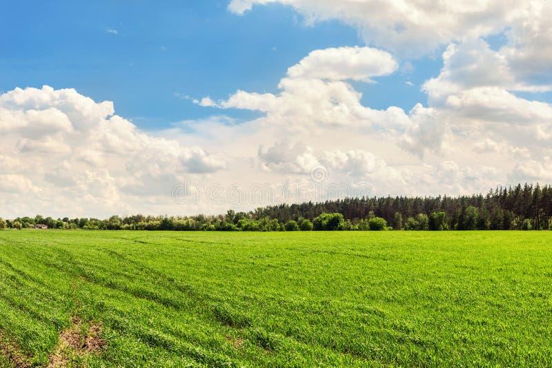 Предпосылка поля ландшафта аграрная с зелеными молодыми заводами растя на яркий солнечный день Поточная линия леса и голубое обла стоковое изображение rf