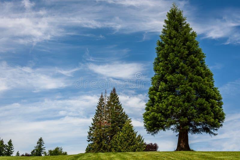 Предпосылка природы дерева симметричного треугольника форменного вечнозеленого, и другие деревья, с голубым небом с прожилковидн  стоковая фотография rf