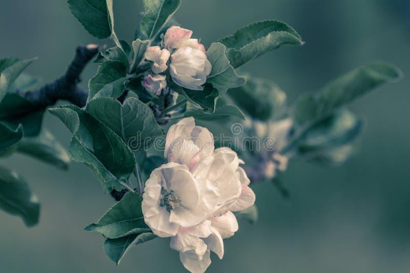 Предпосылка природы дерева цветения Цветки яблока весны желтый цвет весны лужка одуванчиков предпосылки полный Творческий фильтр  стоковые изображения rf