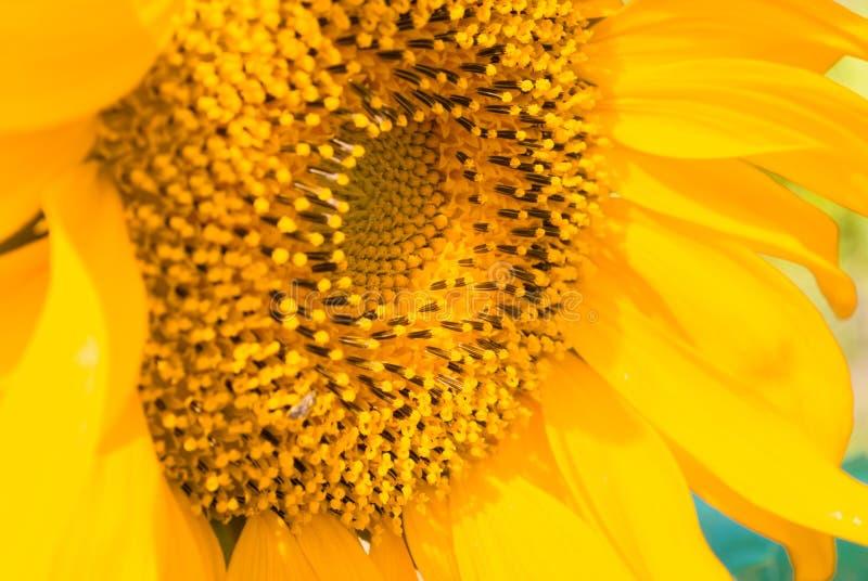 Предпосылка солнцецвета естественная стоковые изображения rf
