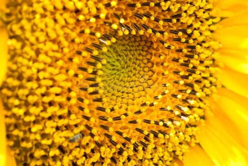 Предпосылка солнцецвета естественная стоковое фото