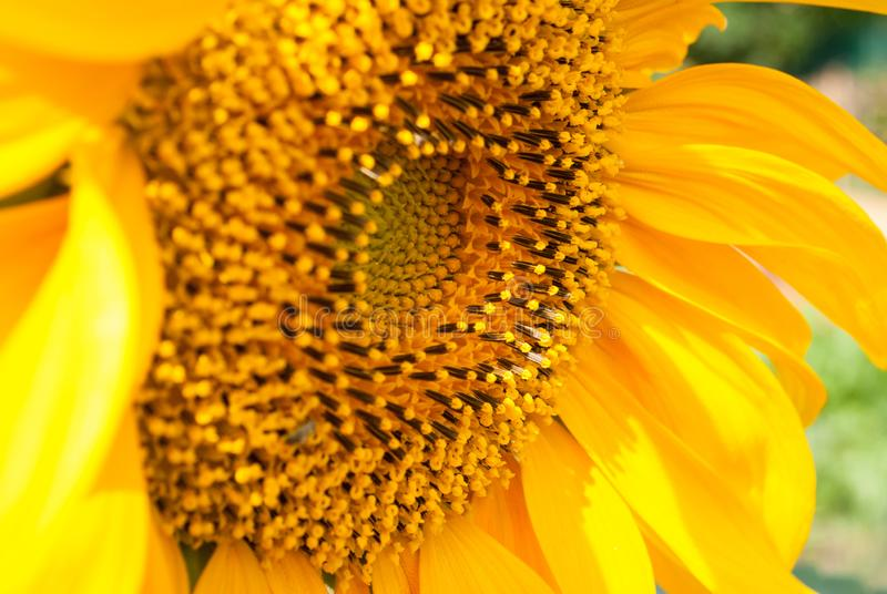 Предпосылка солнцецвета естественная стоковая фотография