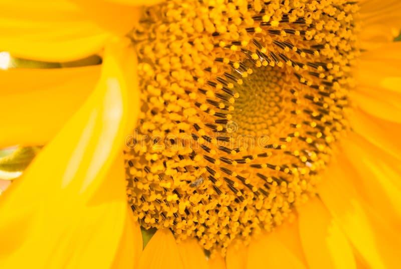 Предпосылка солнцецвета естественная стоковое изображение