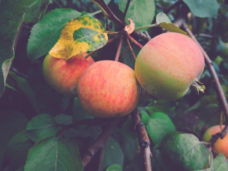 Предпосылка со зрелыми красными яблоками на дереве клеть яблок органическая Садовничающ и жмущ концепцию стоковые изображения