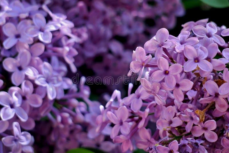Предпосылка с пурпурными небольшими цветками закрывает вверх стоковые фото